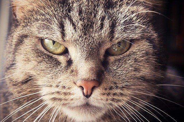 Nahaufhahme Katze mit grimmigem Blick