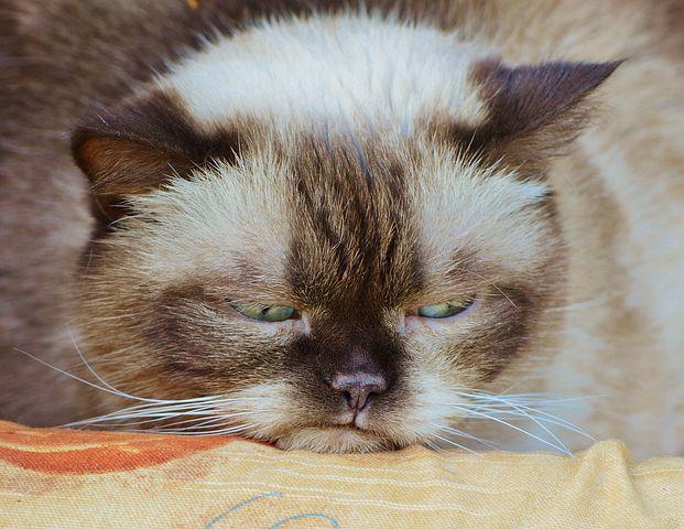 Schlecht gelaunte Katze british shorthair