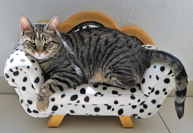 Graue Katze auf kleinem weißen Sofa, schaut gelassen, relaxed