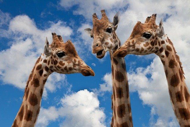 Drei Giraffen bei einer Unterhaltung, blauweißer Himmel im Hintergrund
